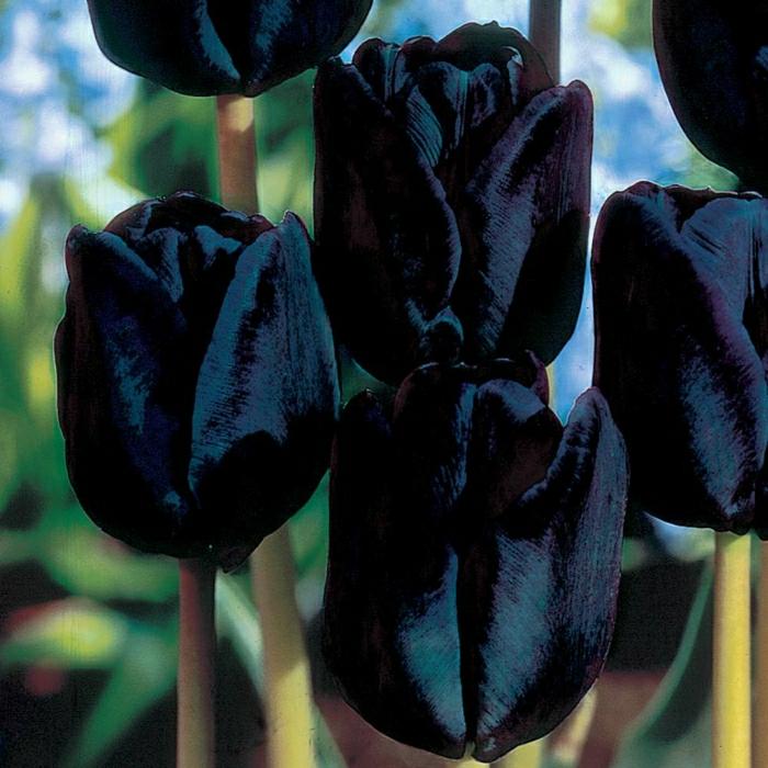 idée-bouquet-tulipe-noire-fleur-de-beauté-réel-en-noir