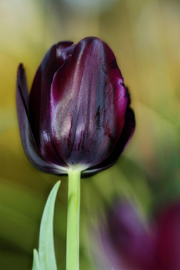 idées-bouquet-tulipe-noire-fleur-de-beauté-réel-violet