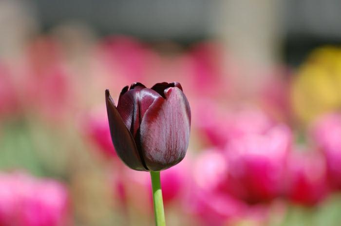 la-tulipe-noire-fleur-le-vert-et-les-belles-fleur-rose-jardin
