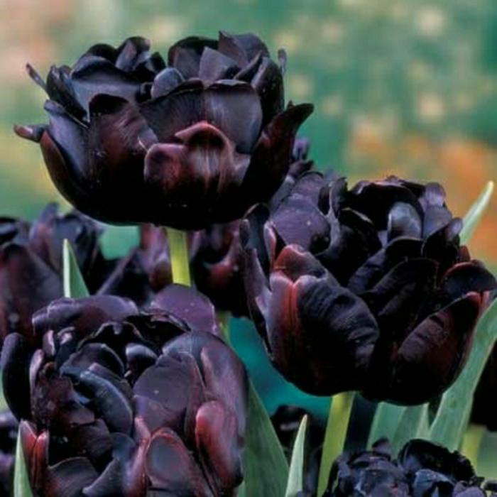 la-tulipe-noire-fleur-le-vert-et-les-belles-fleurs-différent-fleur