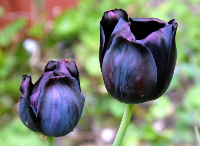 la-tulipe-noire-fleur-le-vert-et-les-belles-fleurs-idées-jardinage