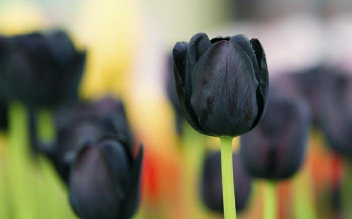 la-tulipe-noire-fleur-le-vert-et-les-belles-fleurs-jolinesse-de-nature