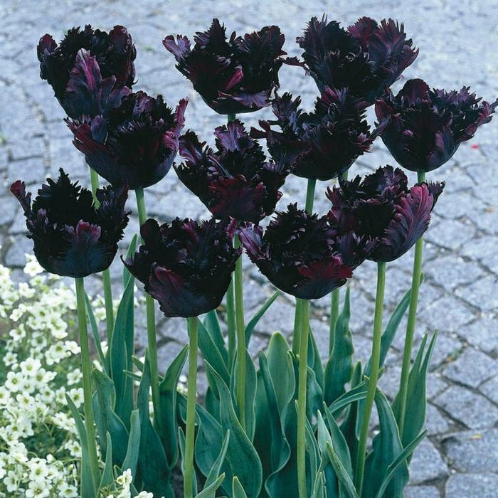 la-tulipe-noire-fleur-le-vert-et-les-belles-fleurs-la-rue