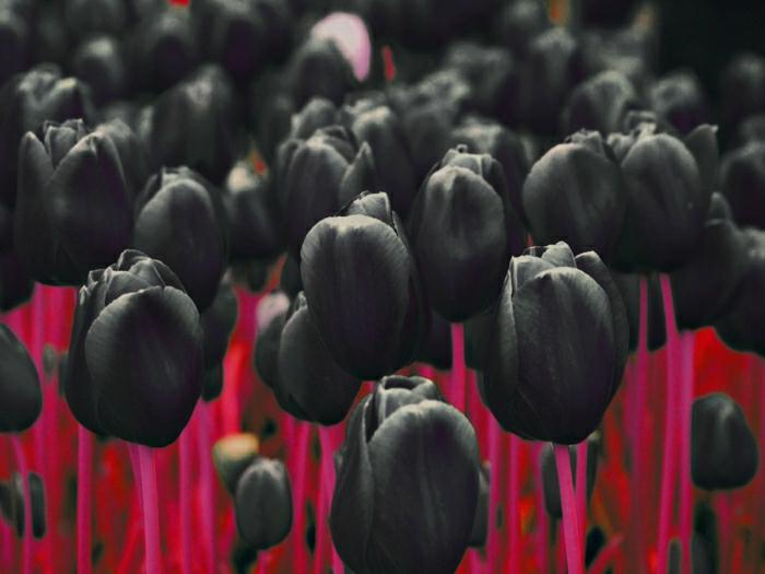 la-tulipe-noire-fleur-le-vert-et-les-belles-fleurs-tout-noir