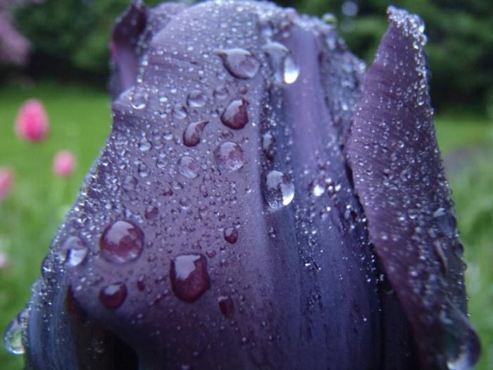 la-tulipe-noire-photographe-publicitaire-idée-à-faire-les-gouts-d-eau-photographie-tulip