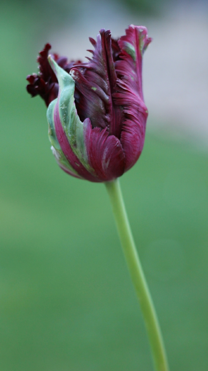 la-tulipe-noire-photographe-publicitaire-idée-à-faire-magnole