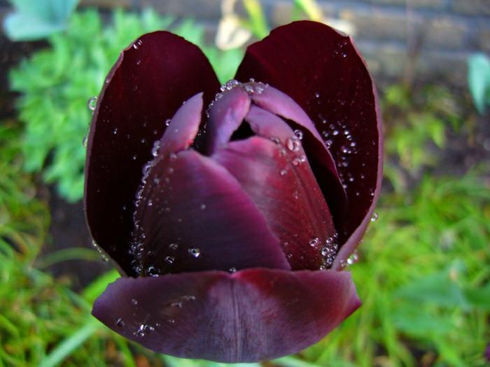 la-tulipe-noire-photographe-publicitaire-idée-à-faire-rose-tulip