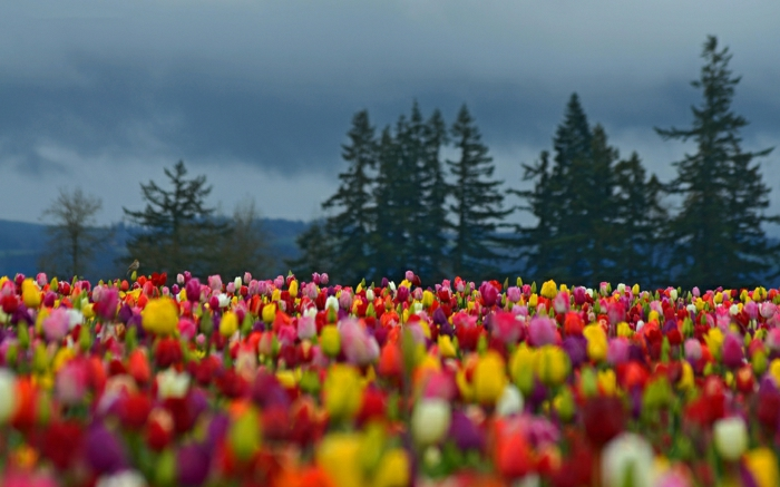 magnolia-tulipe-noire-nature-peleuse-image-de-tulipe-belle-nature-peluse