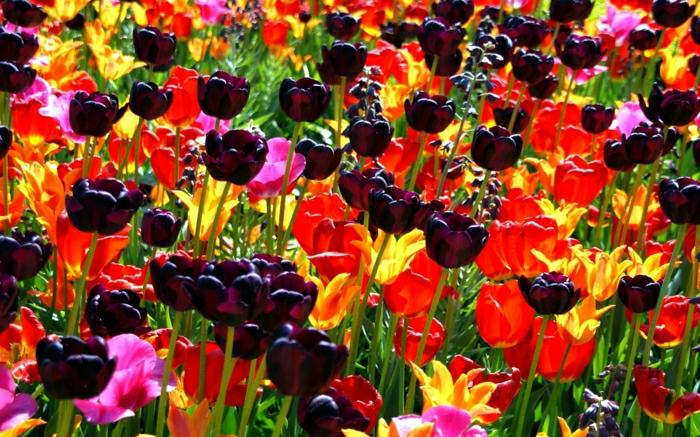 magnolia-tulipe-noire-nature-peleuse-image-de-tulipe-jardin-coloré