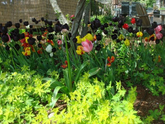 magnolia-tulipe-noire-nature-peleuse-image-de-tulipe-le-jardin-des-fleurs