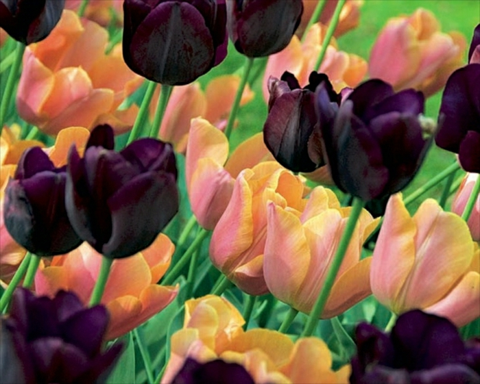 Sweet Joy Triumph Tulip Collection flowering in Apr-May, height 45cm
