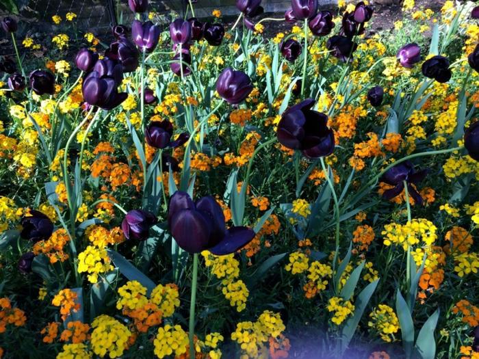 tulipe-noire-fleur-nature-beauté-jardin-nature-cool-couleurs