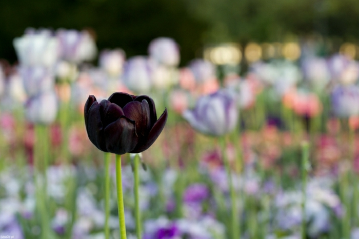 tulipe-noire-fleur-nature-beauté-jardin-nature-gazon