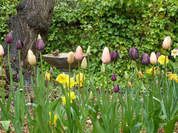 tulipe-noire-fleur-nature-beauté-jardin-nature-jardin-vert