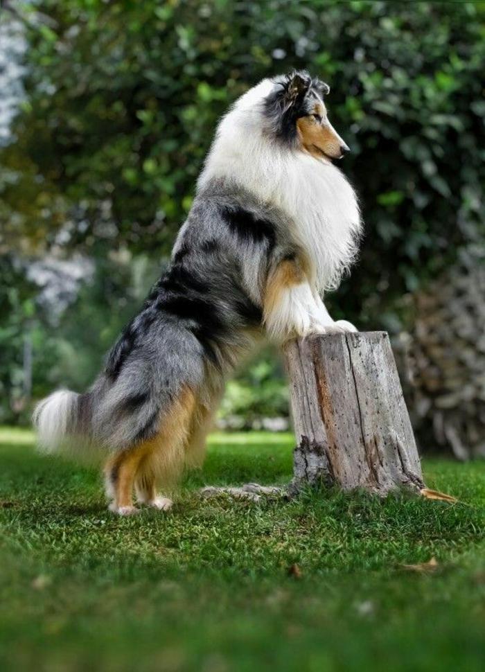 1-comment-choisir-son-chien-colly-joli-chein-blanc-et-gris-pelouse-verte