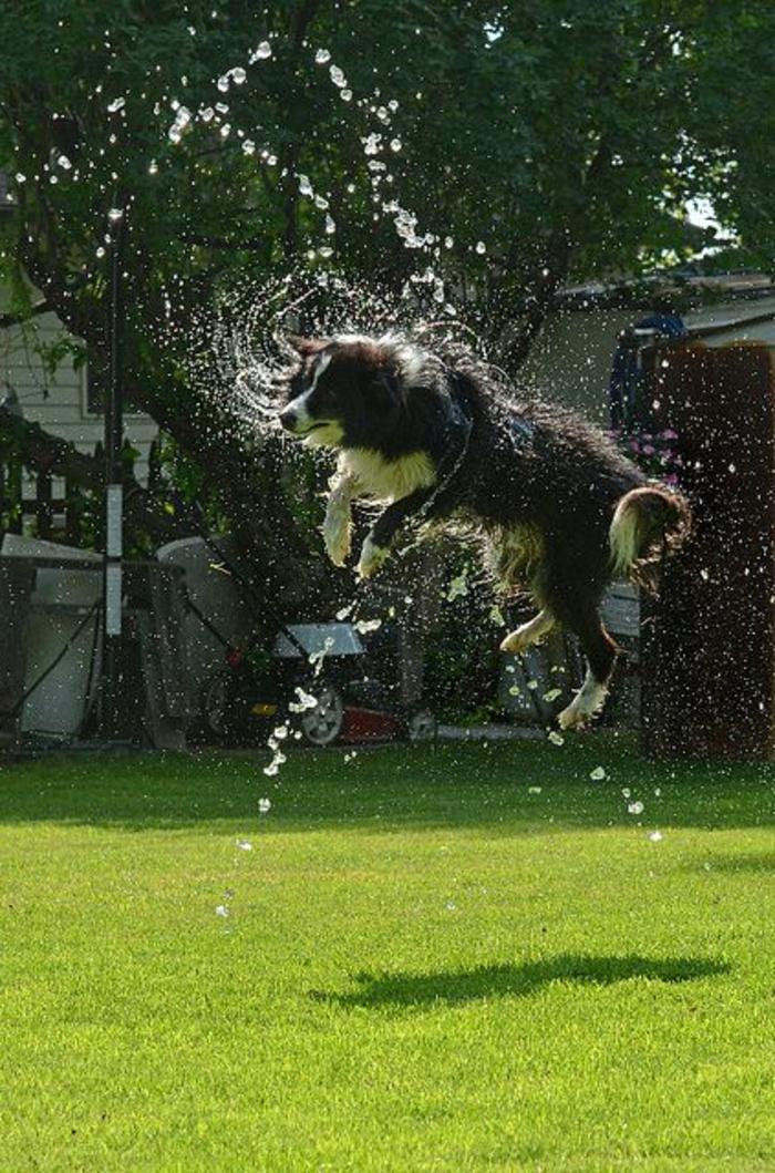 1-comment-choisir-son-chien-colly-joli-chein-blanc-noir-sauter-sur-la-pelouse-verte