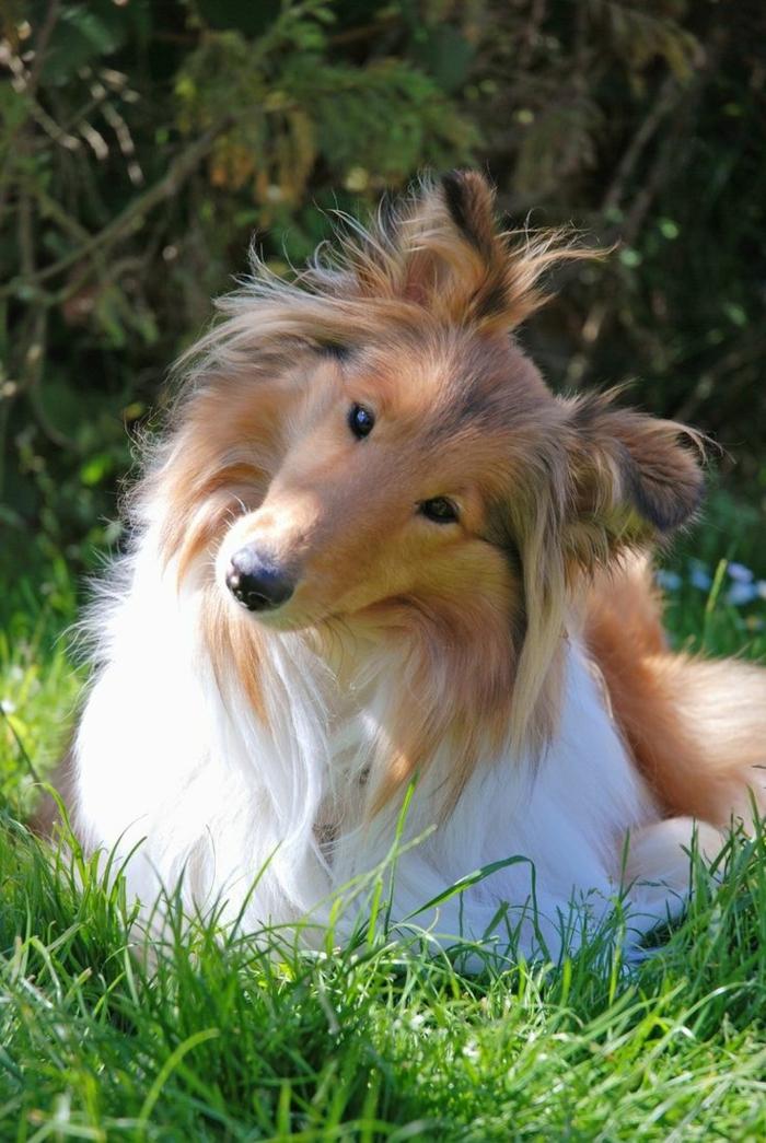 1-comment-choisir-son-chien-colly-le-plus-mignon-chien-du-monde-rige-blanc-colly-chien