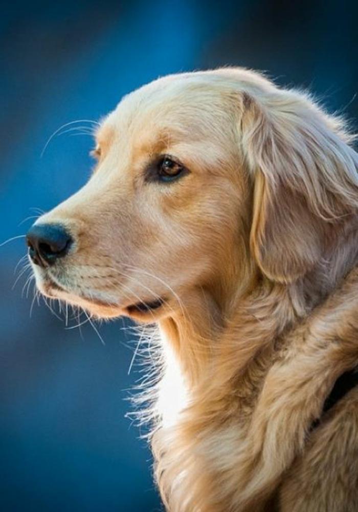 2-comment-choisir-son-chien-votre-joli-golden-retriever-de-couleur-rige-le-plus-mignon-chien-du-monde