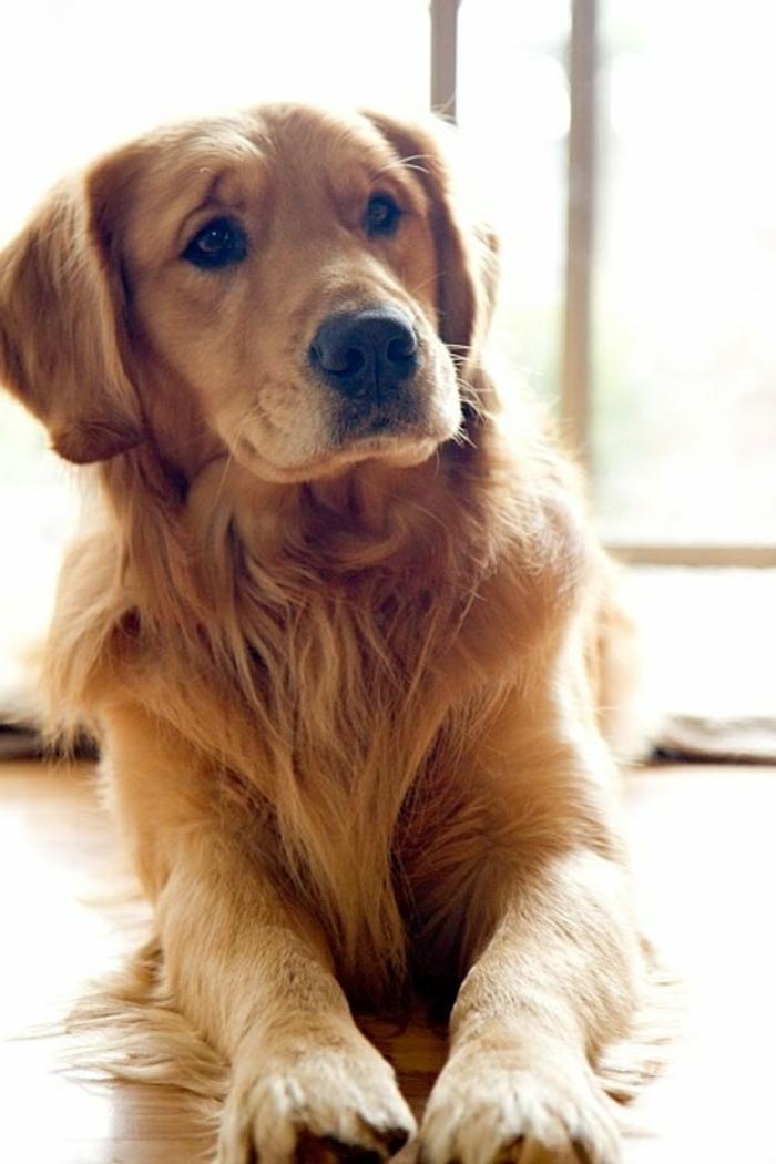 2-comment-choisir-son-chien-votre-joli-golden-retriever-de-couleur-rige