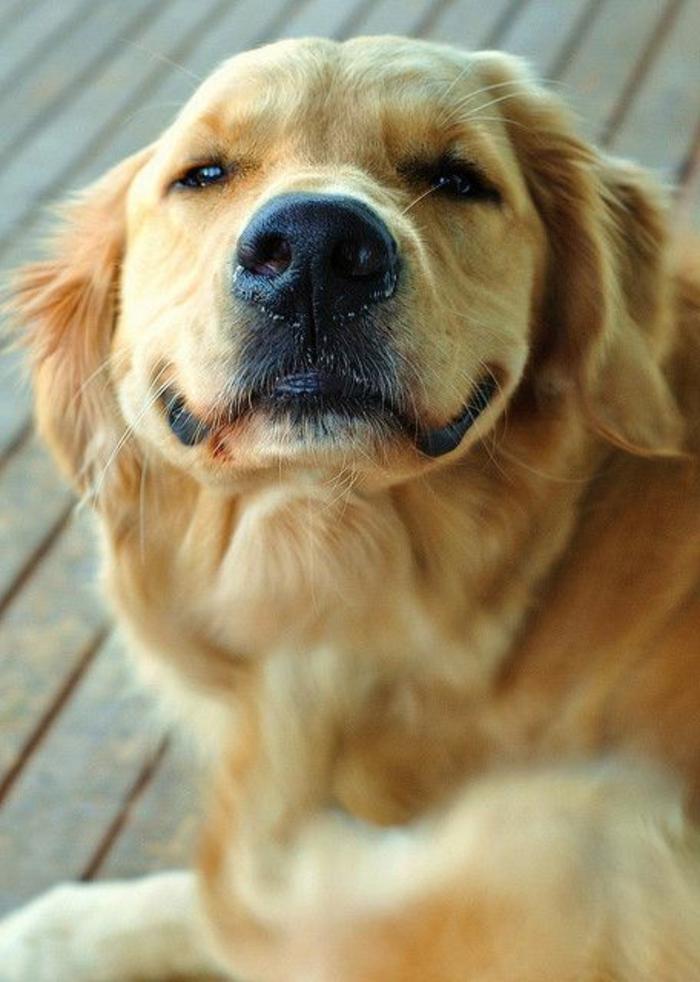 2-golden-retriever-comment-choisir-son-chien-quel-race-de-chien-choisir-joli-chien-beige