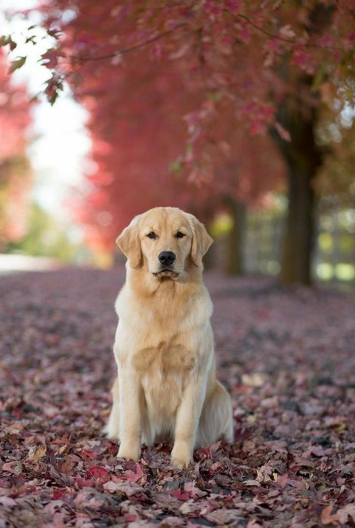 2-race-de-chien-taille-moyen-golden-retriver-beige-blanc-pour-vivre-ensemble-chez-vous