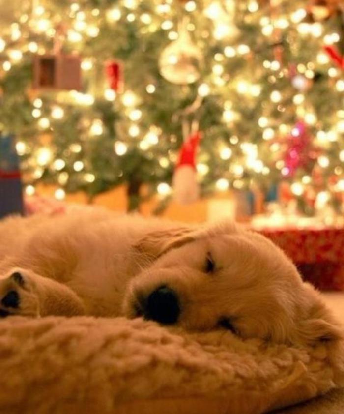 2-race-de-chien-taille-moyen-golden-retriver-pour-vivre-ensemble-avec-vous
