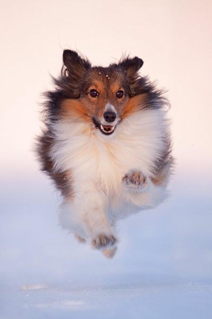 3-Sheltie-quel-chien-choisir-voici-un-joli-sheltie-comment-choisir-son-chien-pour-vivre-ensemble