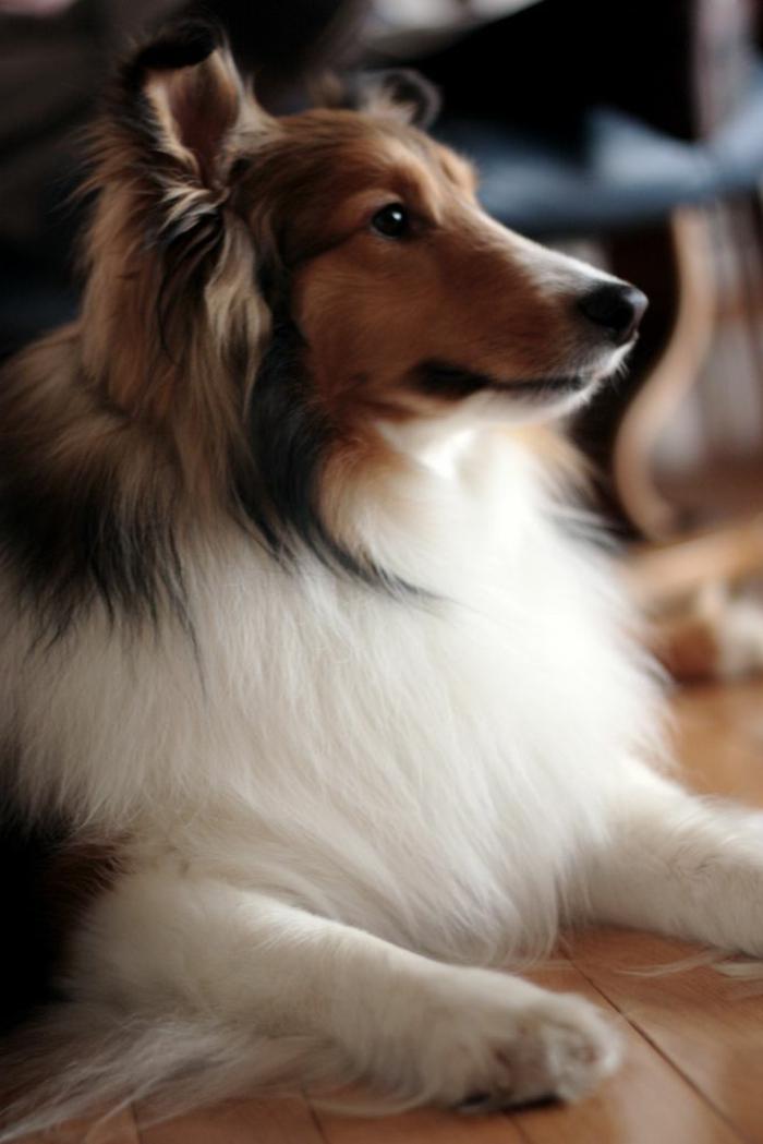 3-Sheltie-quel-chien-choisir-voici-un-joli-sheltie-comment-choisir-son-chien