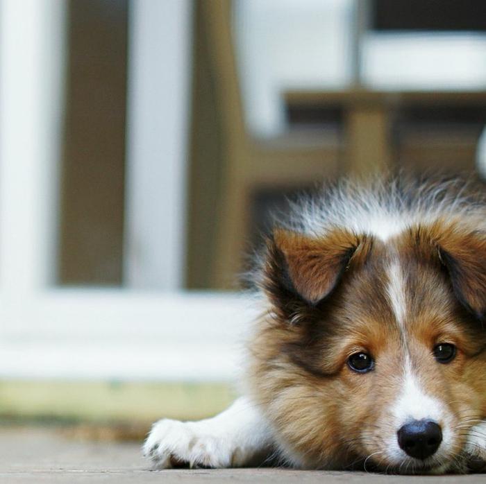 3-Sheltie-race-de-chien-taille-moyen-pour-un-joli-chien-a-vivre-ensemble