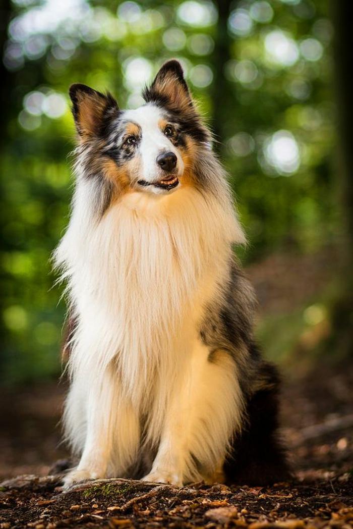 3-quel-chien-choisir-comment-choisir-son-chien-race-de-chien-taille-moyen-Sheltie-