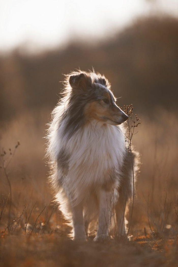 3-quel-chien-choisir-comment-choisir-son-chien-race-de-chien-taille-moyen-Sheltie-qui-marche-au-couche-de-soleil