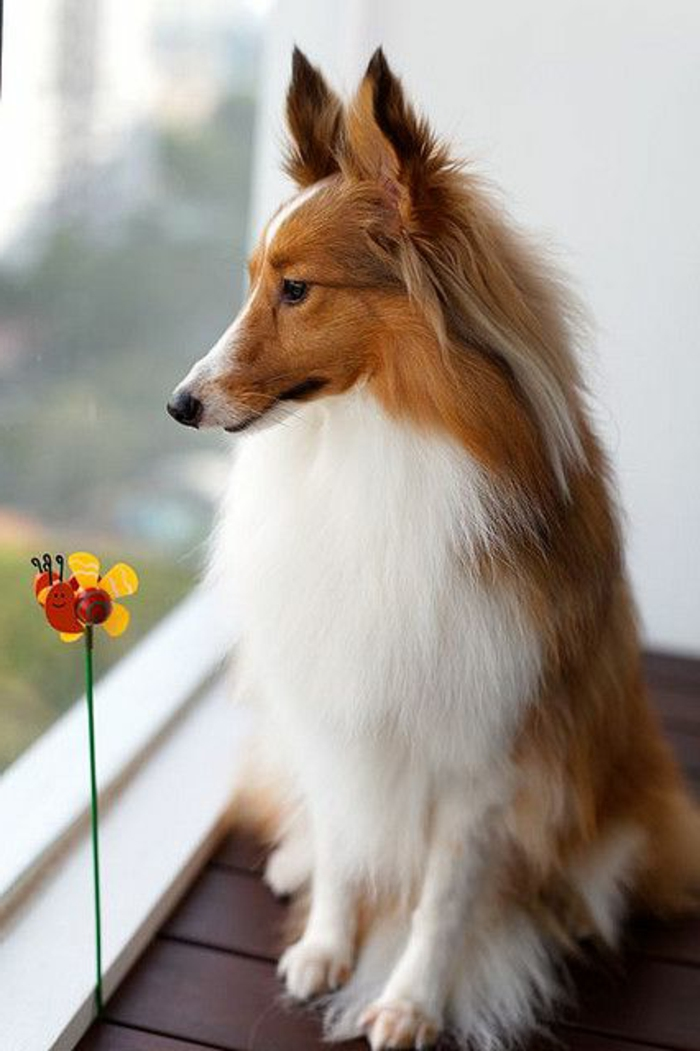 3-sheltie-comment-choisir-son-chien-sheltie-pour-vivre-ensemble-a-la-maison