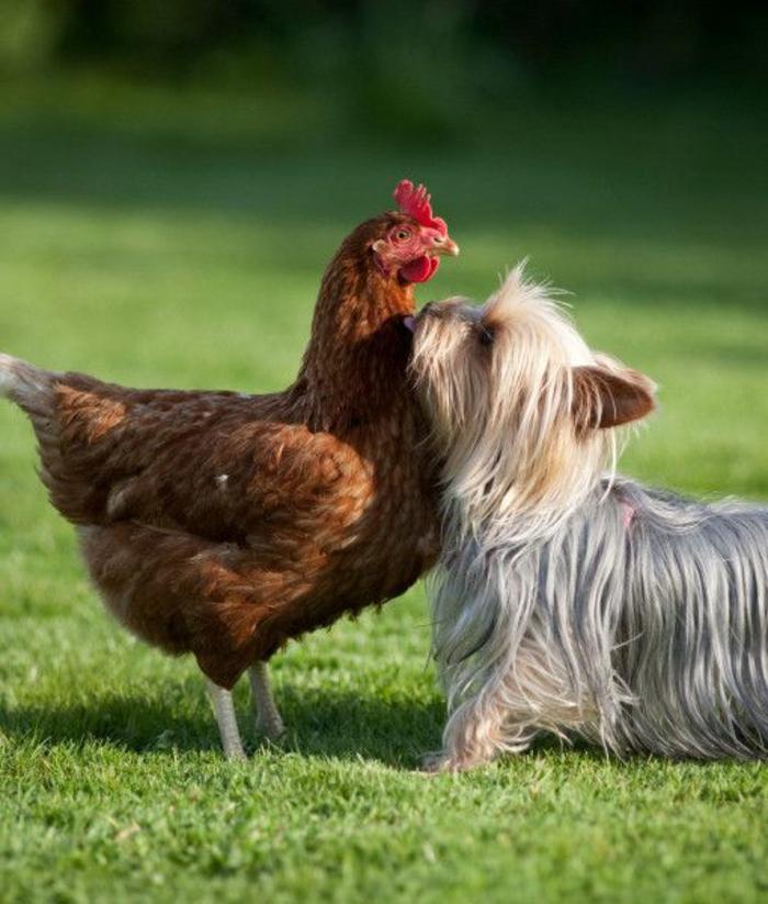 4-Yorkshire-Terrier-comment-choisir-son-chien-race-de-chien-taille-moyen-Yorkshire-Terrier