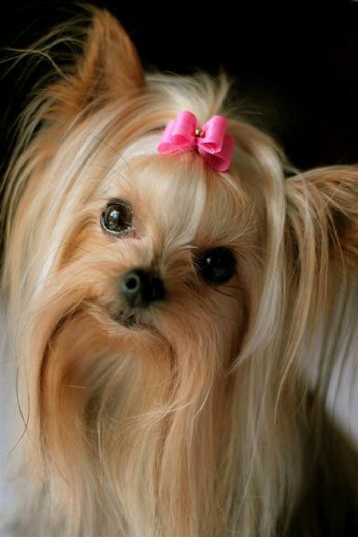 4-Yorkshire-Terrier-comment-choisir-un-petit-chien-pour-vivre-ensemble-a-la-maison