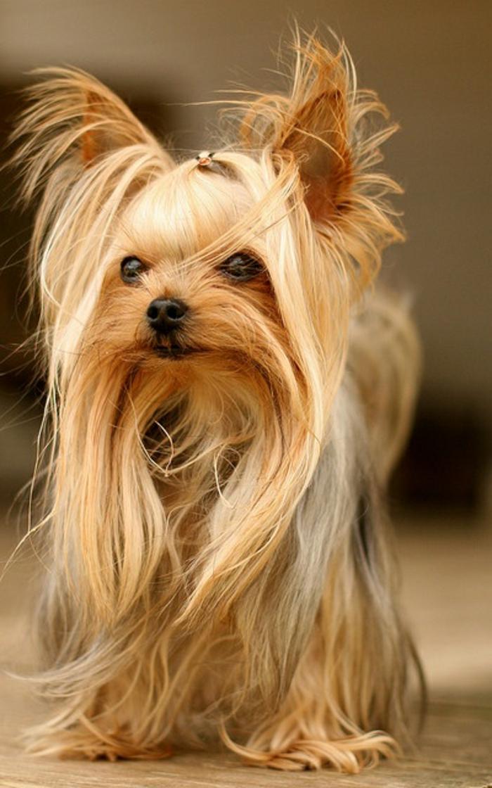 4-Yorkshire-Terrier-race-de-chien-petit-taille-comment-choisir-un-chien-race-de-chien