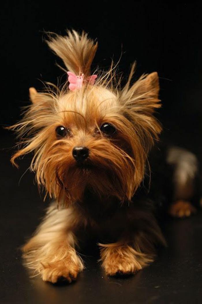 4-petit-chien-Yorkshire-Terrier-comment-choisir-un-petit-chien-un-joli-petit-chien