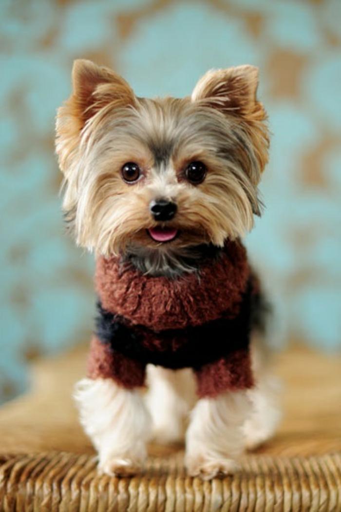 5-Teckel-joli-et-petit-chien-a-vivre-ensemble-chez-vous-joli-chien-rige