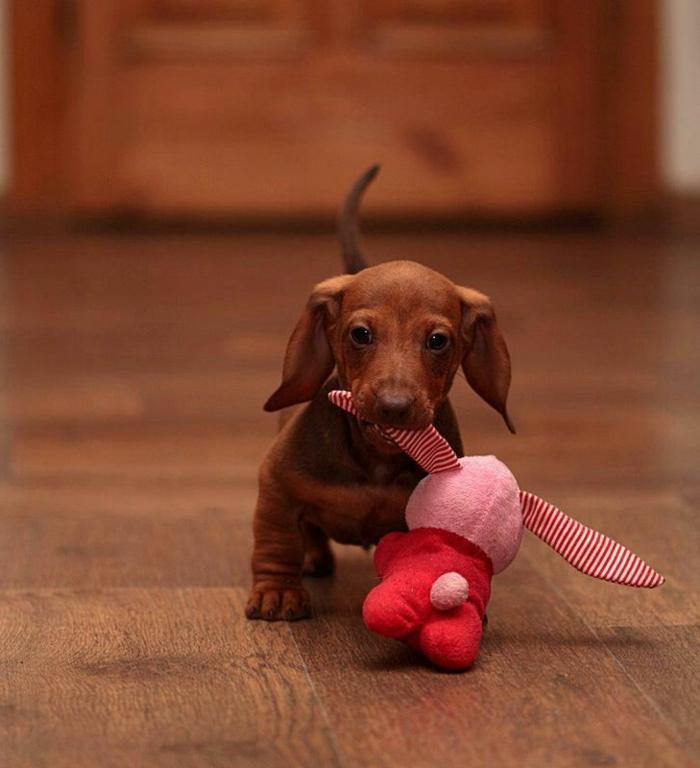 5-Teckel-le-plus-mignon-chien-du-monde-comment-choisir-un-joli-petit-chien