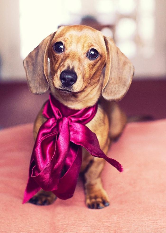 5-Teckel-petit-chien-marron-avec-ruban-rose-pour-votre-petit-chien-Teckel-marron