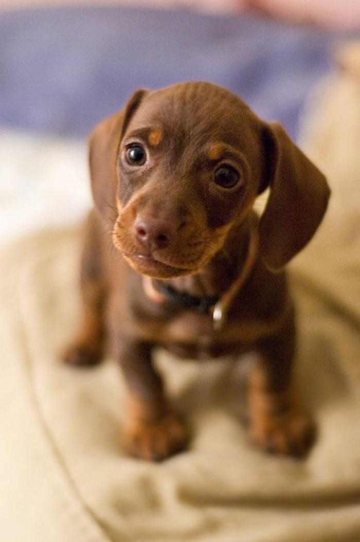 5-le-plus-mignon-chien-du-monde-photos-de-petits-chiens-mignons-Teckel-marron