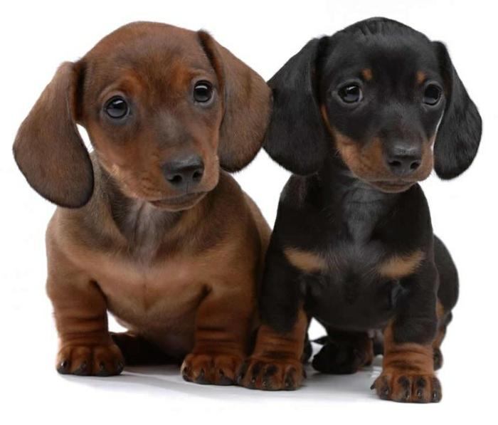 5-le-plus-mignon-chien-du-monde-photos-de-petits-chiens-mignons