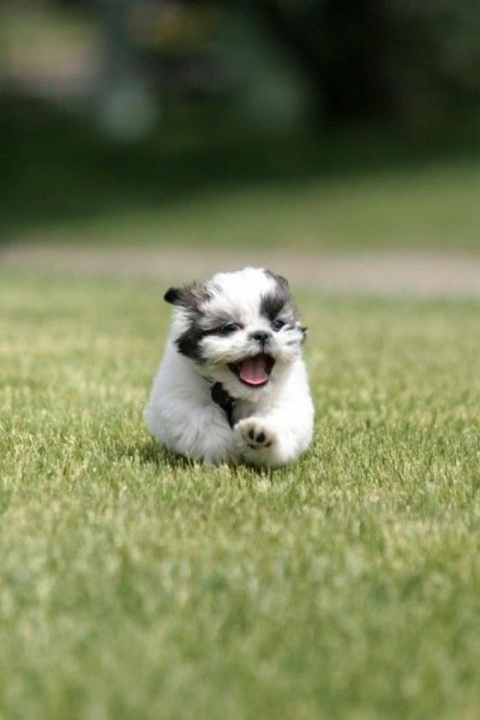 6-Shih-Tzu-comment-choisir-un-chien-de-petit-taille-race-de-chien-petit-taille