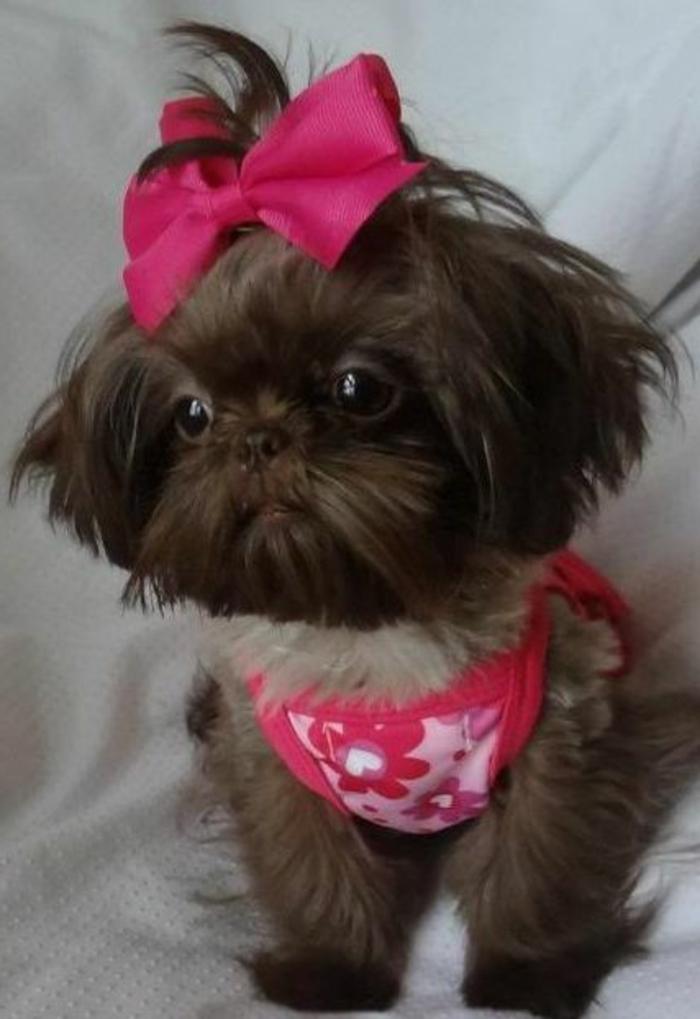 6-Shih-Tzu-dans-toute-sa-beaute-comment-choisir-un-petit-chien-Shih-Tzu-race-de-chien-petit-taille-