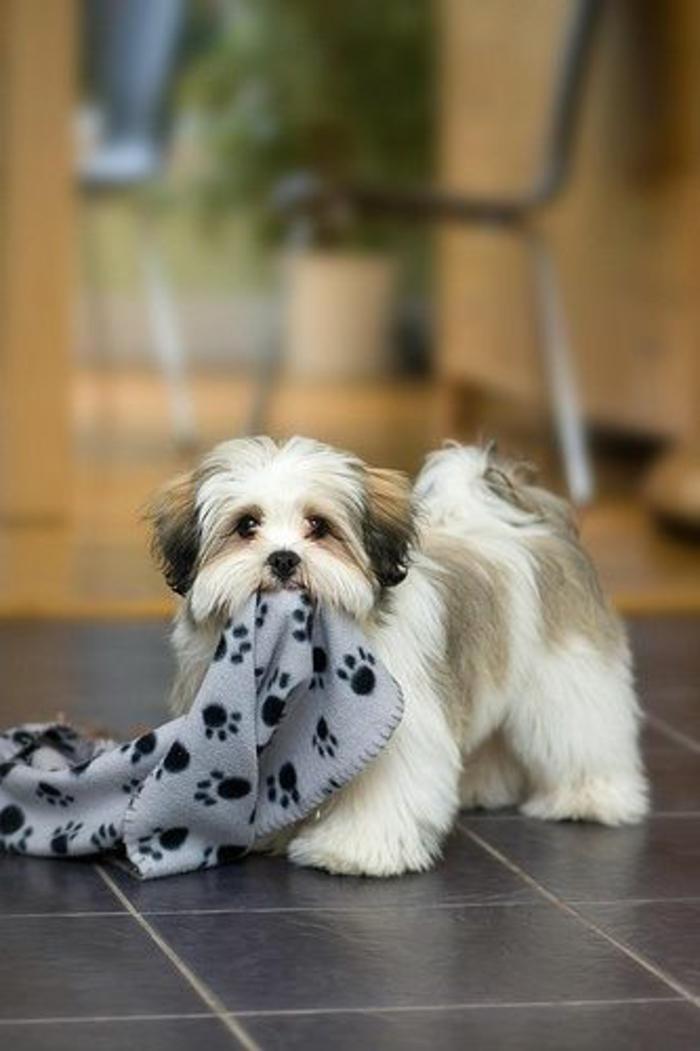 6-joli-chien-Shih-Tzu-comment-choisir-le-meilleur-chien-blanc-noir-race-de-chien-petit-taille-