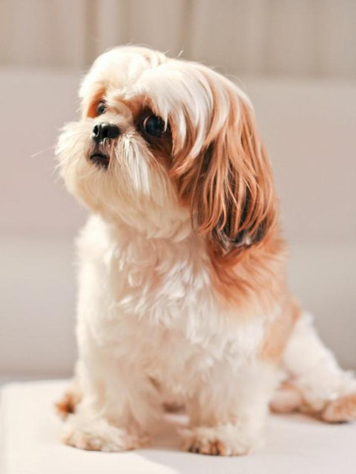 6-joli-chien-Shih-Tzu-comment-choisir-le-meilleur-chien-blanc-noir-race-de-chien-petit-taille
