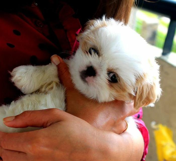 6-le-plus-mignon-petit-chien-Shih-Tzu-chien-de-taille-petit-comment-choisir-un-petit-chien