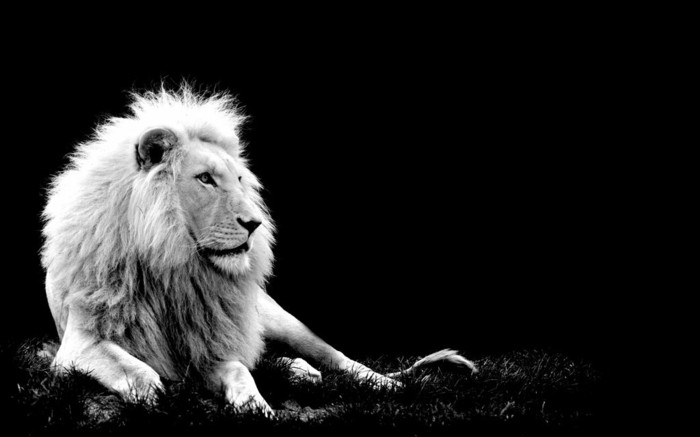 belle-photo-artistique-noir-et-blanc-image-grand-chat-le-lion