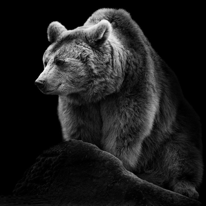 belle-photo-artistique-noir-et-blanc-image-ourse-beaute