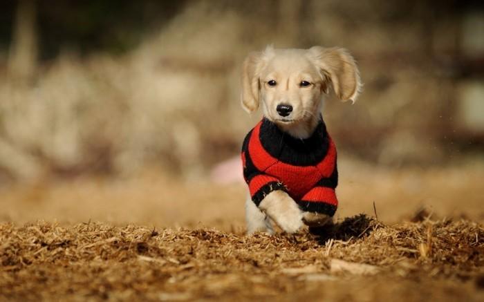 chien-noel-pas-cher-chihuahua-vetement-pas-cher