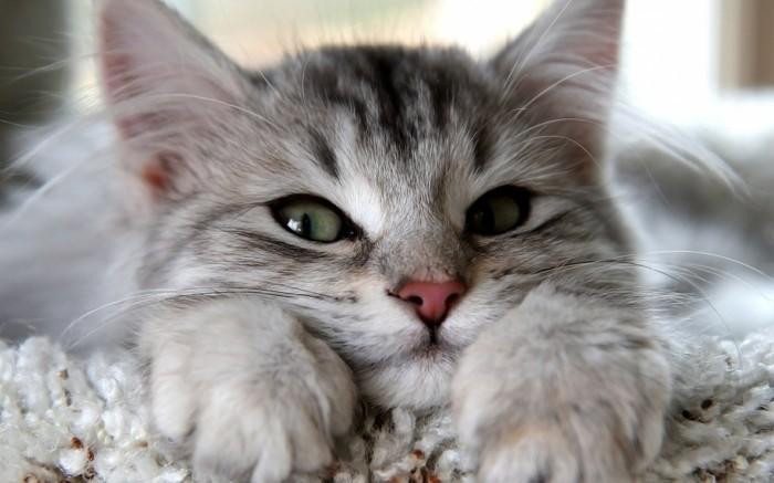 fond-ecran-chaton--photo-de-chaton-mignon-chatons-mignon-trop-cool